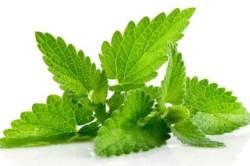 Польза мяты для лечения зеленых соплей