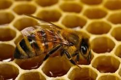 Полезные свойства прополиса, полученные благодаря деятельности пчел